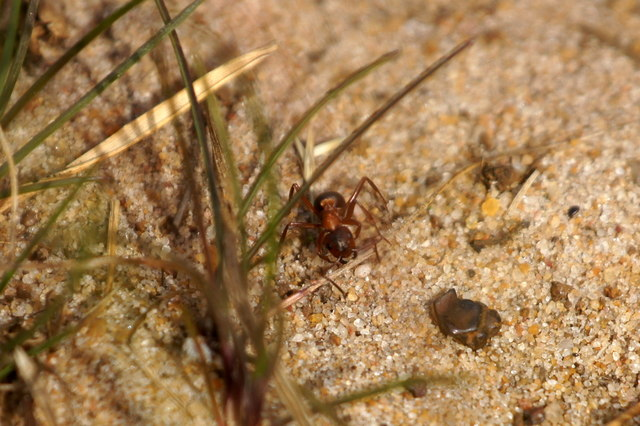 Southern Wood Ant (Formica rufa), Thursley Common