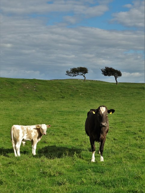 Cow and calf at High Borgue