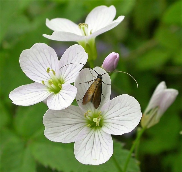 Meadow long-horn moth on cuckooflower or lady's smock