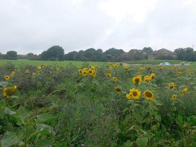 Ensbury Park: sunflowers at Slades Farm