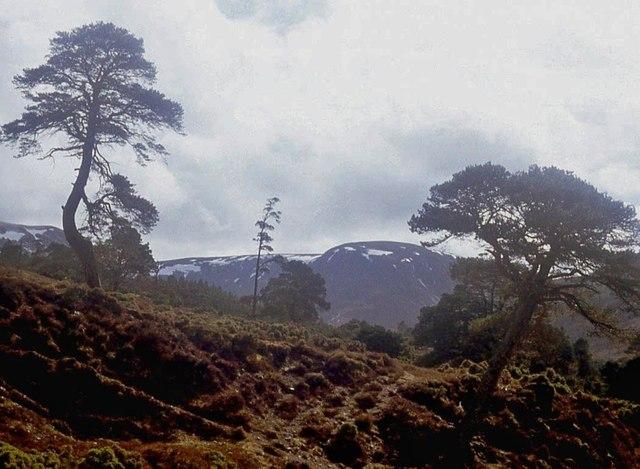 Pine wood in Glen Feshie