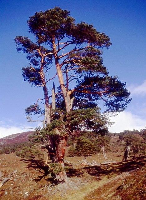 Weather worn Scots pine, somewhere in Glen Feshie