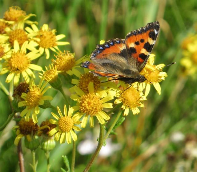 Butterfly on ragwort