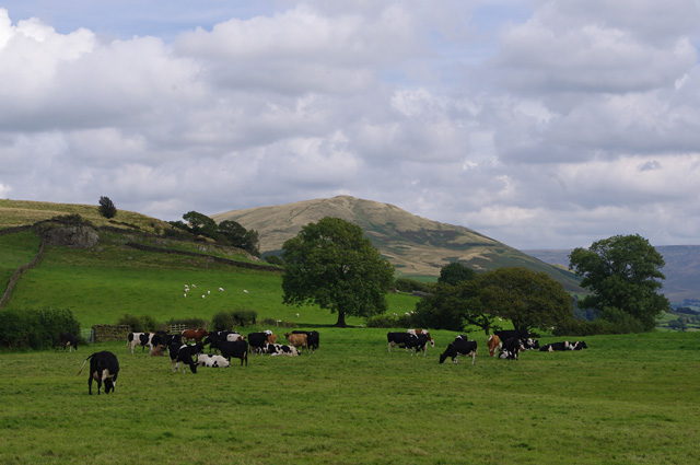 Cattle near New Field