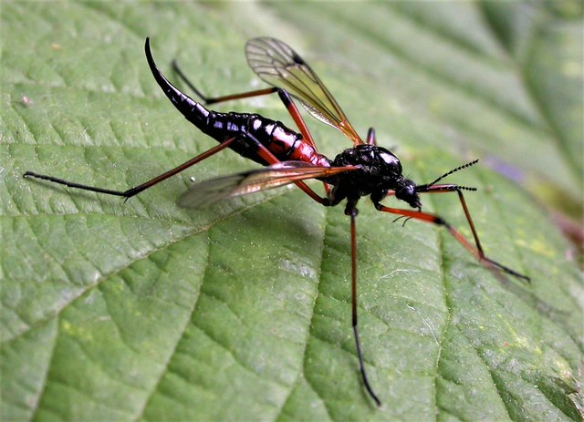 A Red Data Book cranefly in Brede High Woods