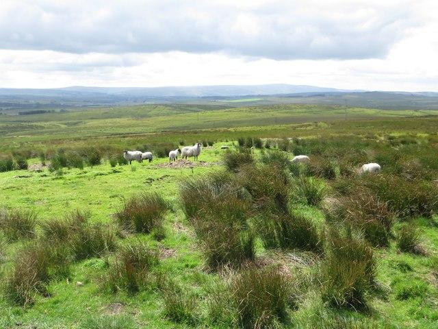 Sheep grazing Rushy Hill