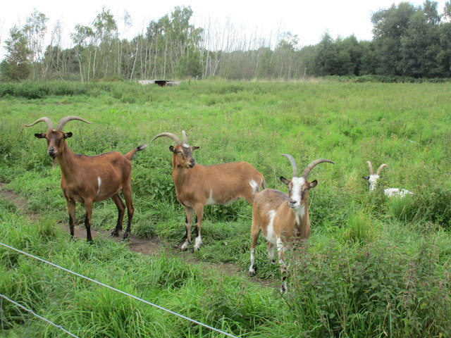 Goats on Crowle Moors