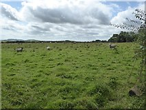 SS8910 : Sheep grazing south of Hookway Lane by David Smith