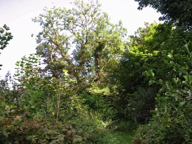 An old ash tree on the edge of Church Fen
