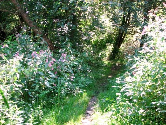 Narrow path past Himalayan balsam