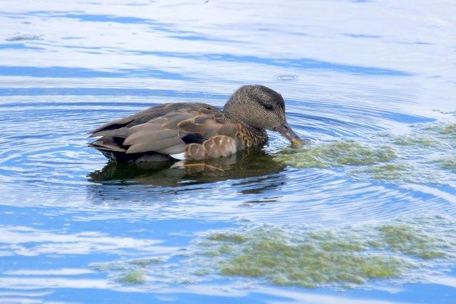 Gadwall (Anas strepera), the London Wetland Centre, Barnes