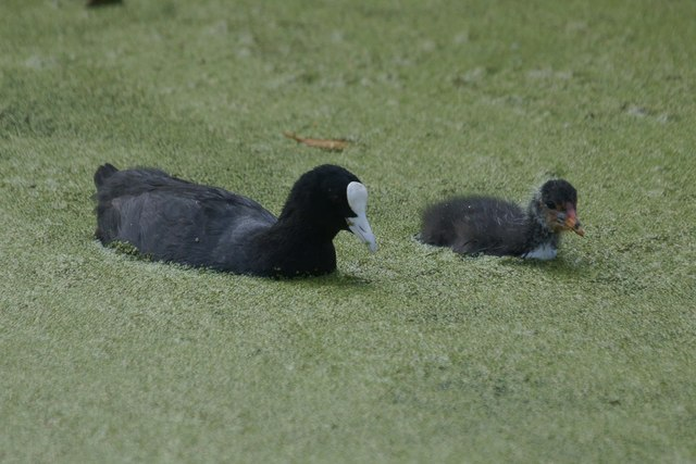 Coot (Fulica atra) and chick at the London Wetland Centre, Barnes