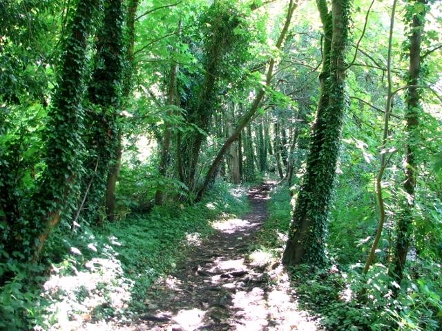 Ivy-clad trees beside the path through Church Fen