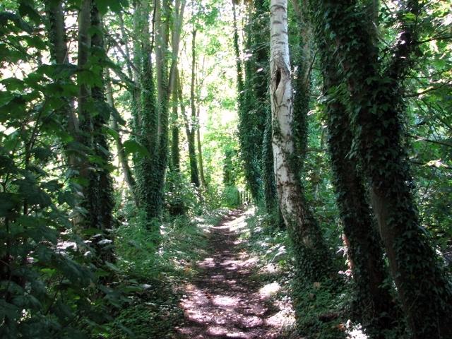Birches and alders beside the path through Church Fen