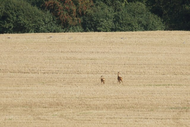 Roe Deer in fields at Chessington