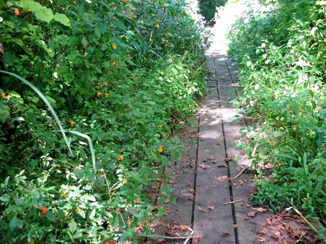 Vegetation encroaching onto the boardwalk