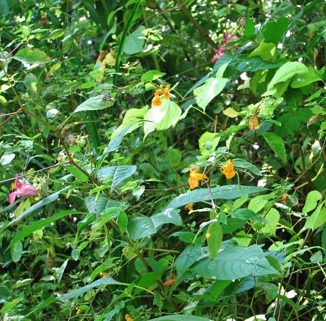 Orange Balsam  (Impatiens capensis) in Church Fen