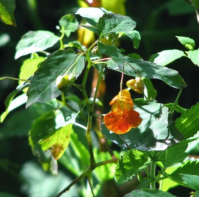 Orange Balsam  (Impatiens capensis)