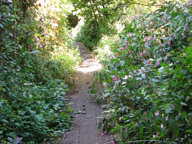 Himalayan Balsam flanking the boardwalk