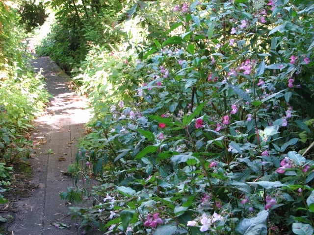 Himalayan Balsam encroaching onto the boardwalk