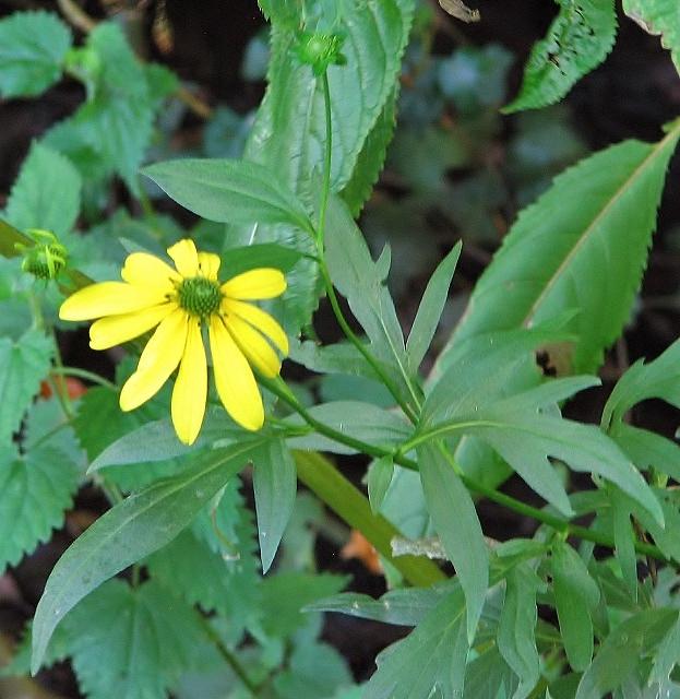 Cone flower (Rudbeckia laciniata)