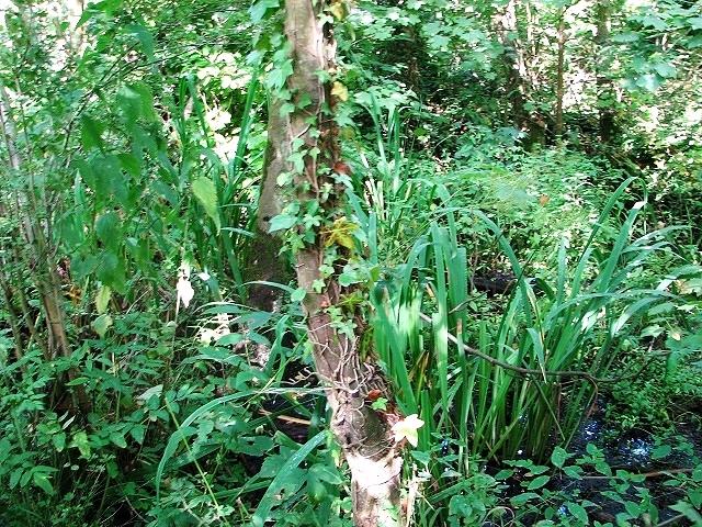 Swampy carr in Church Fen