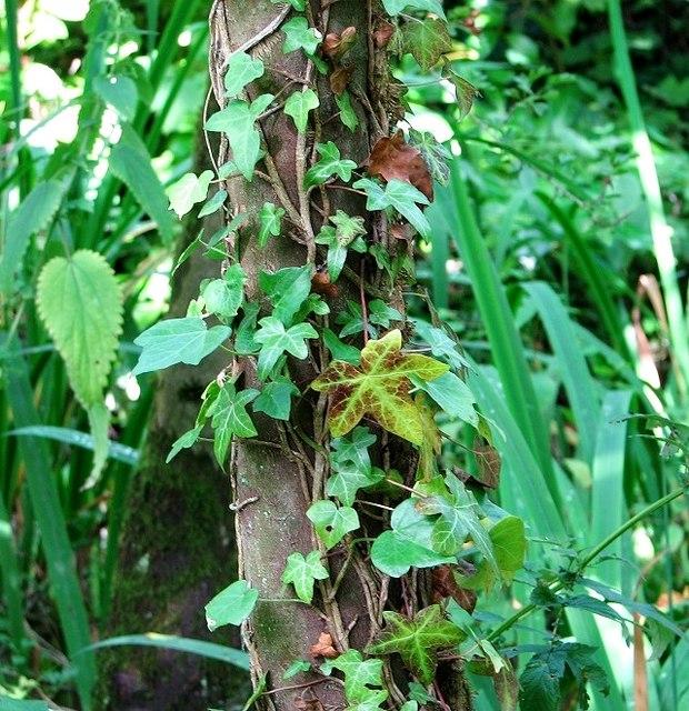 Ivy-clad tree beside the boardwalk