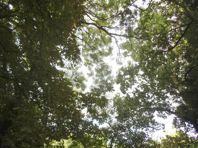 Tree canopy in Golders Hill Park