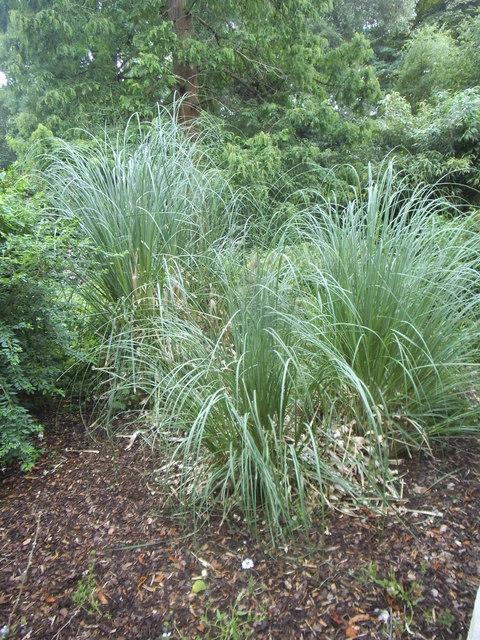 Pampas grass in Golders Hill Park