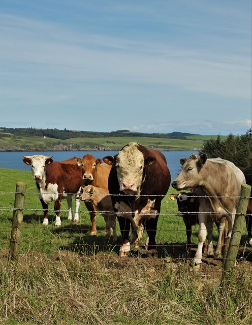 Cattle above Manor Point, Kirkcudbright Bay