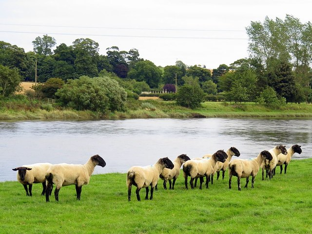 Sheep near River Tweed at Low House