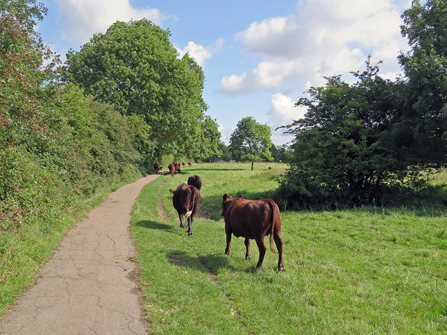Cattle on Grantchester Meadows