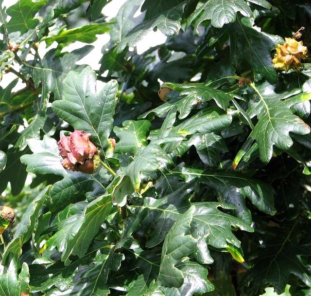 Knopper galls on oak