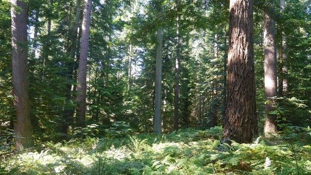 Specimen trees, Kyloe