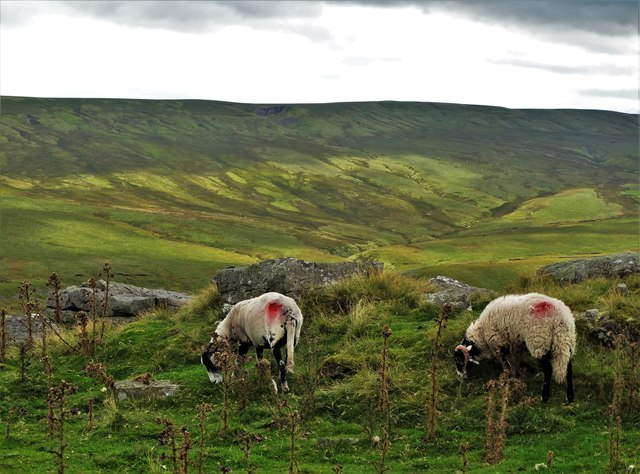 Sheep by Long Band looking south to Kaber Fell