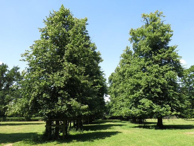 Parallel lines of trees in Huntsmoor Park
