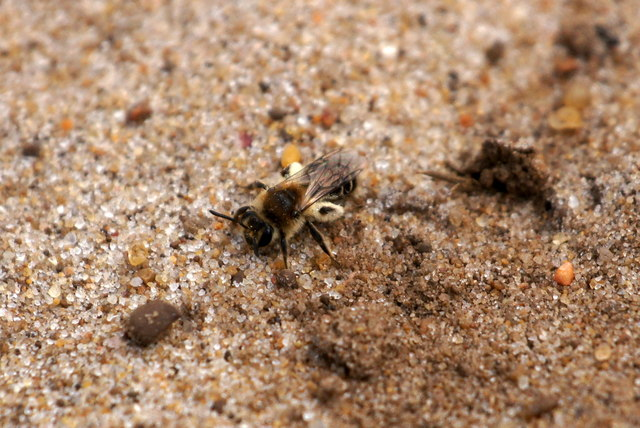 The bee Andrena argentata, Thursley Common