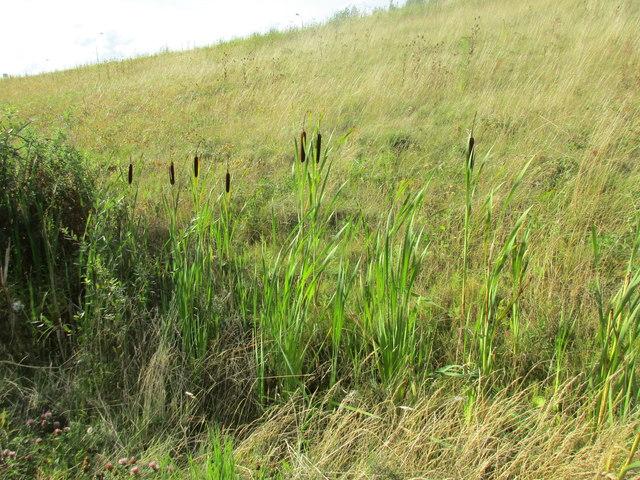 Bulrush (Great Reedmace)