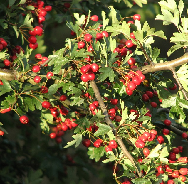 Hawthorn berries in Mill Road