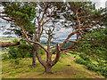 NH5058 : Scots Pine by valenta
