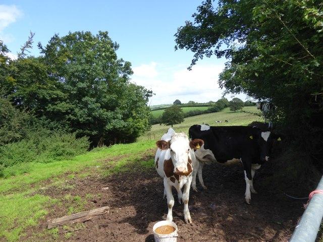 Cows in field by Larkey Lane