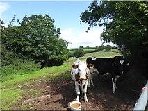 SS9009 : Cows in field by Larkey Lane by David Smith