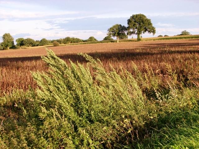 Bean field east of Mill Road