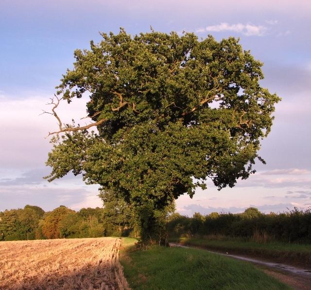 Old oak tree in St Edmund's Way