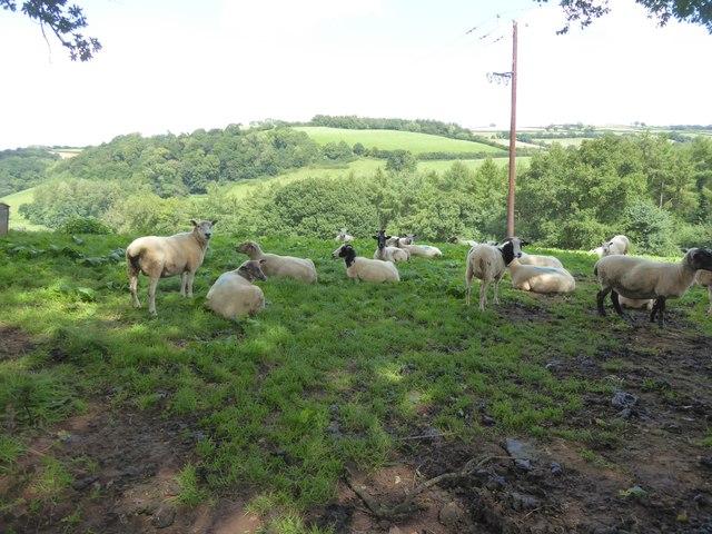 Flock of sheep near Little Silver