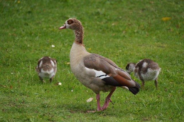 Egyptian Goose (Alopochen aegyptiacus), the Royal Botanic Gardens, Kew