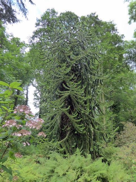 Monkey Puzzle Tree, Picton Park