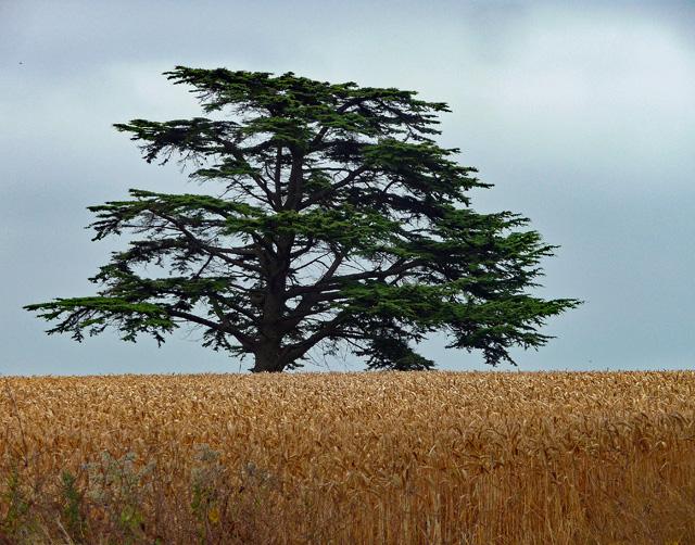 Cedar near Goodrich (2)