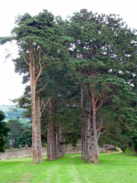 Pines near Welsh Bicknor