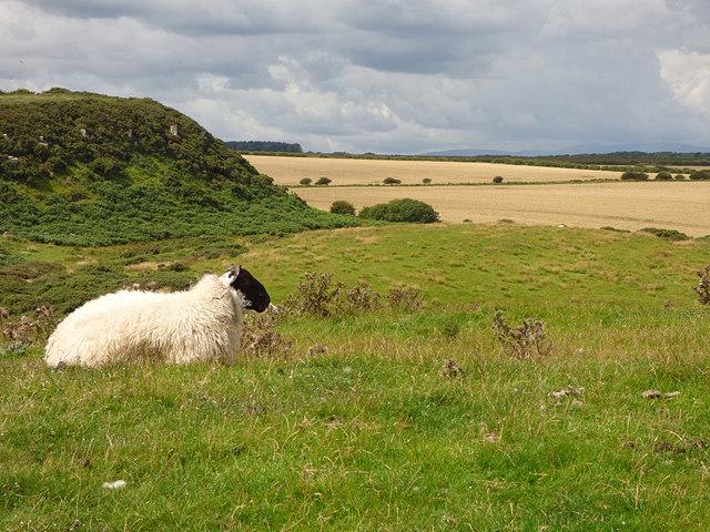 Sheep near Dunstanburgh Castle